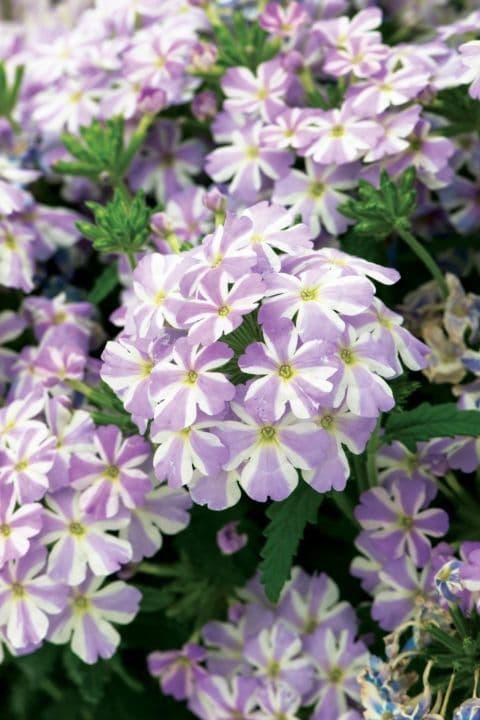 Verbena Voodoo Lavender Star